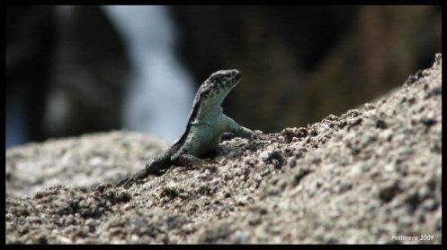Vida Salvaje en las Rocas - Polimero - © Todos los derechos reservados.